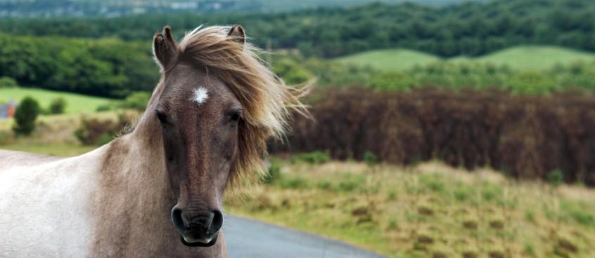horsebanner1